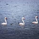 fenicotteri oasi wwf lago di burano (A scelta)