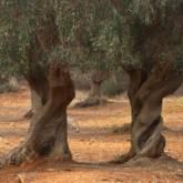 olivi secolari parco della Maremma (A scelta)
